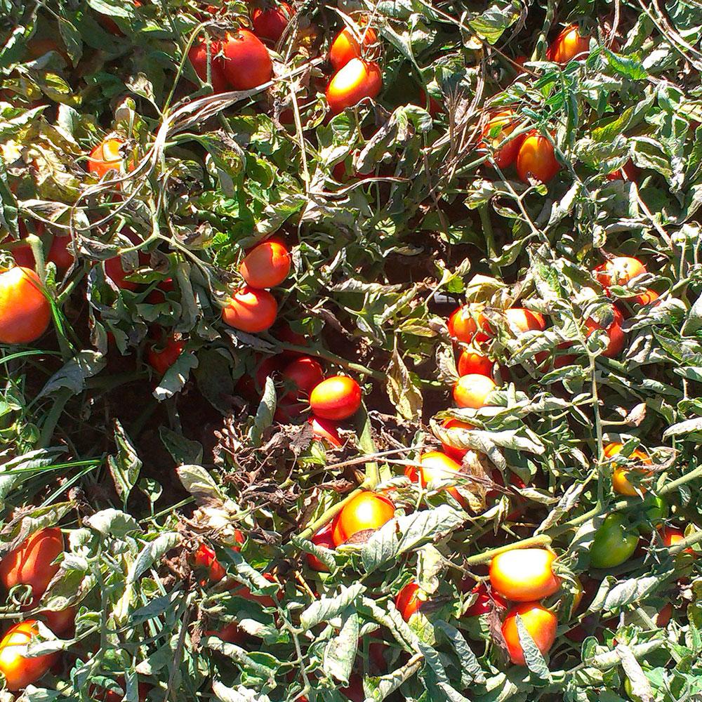 casat-tomate-03.jpg
