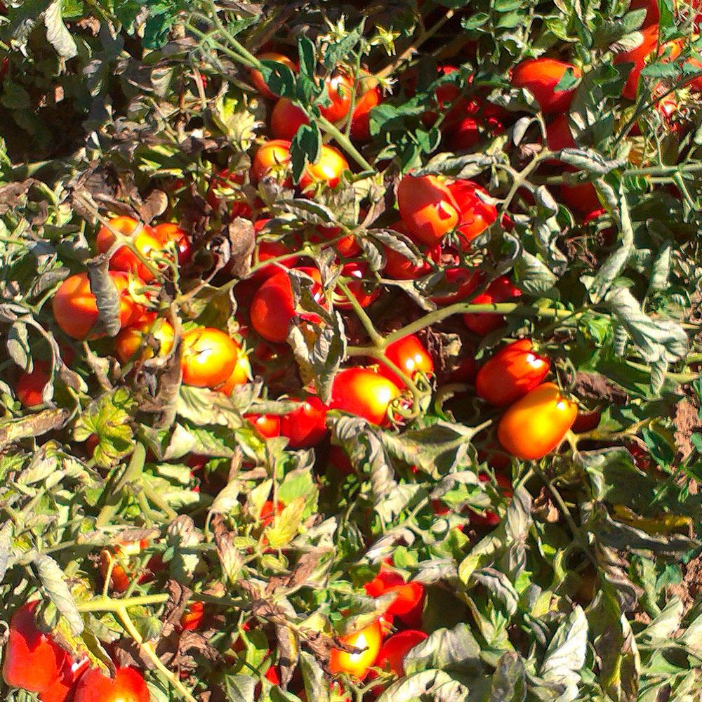 casat-tomate-05.jpg